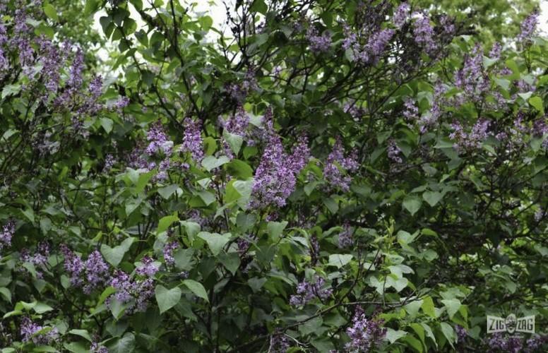 Padurea de liliac din Ponoarele