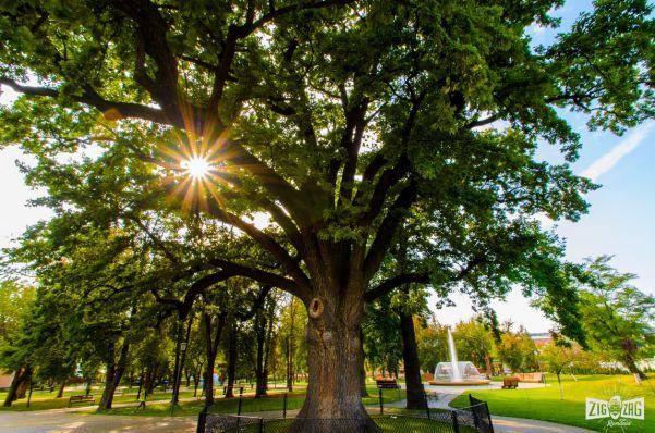 Zig Zag prin Blaj: stejarul lui Avram Iancu