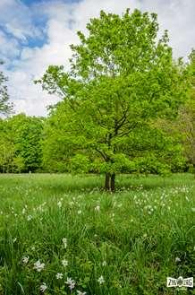 Splendoare cu floare - Poiana cu narcise din Rovina